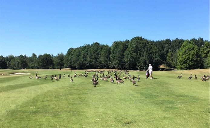 Golfers laveren tussen de tientallen ganzen op een van de fairways.