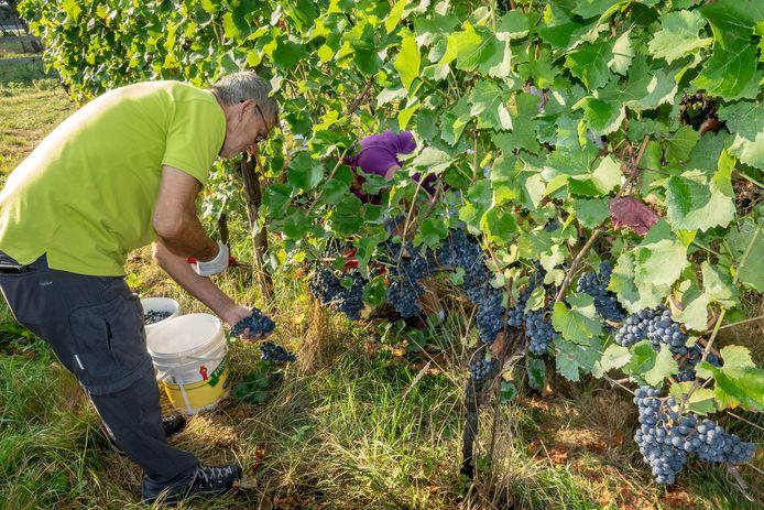 Vorig jaar werden de druiven al vroeg in september voor het eerst geplukt.