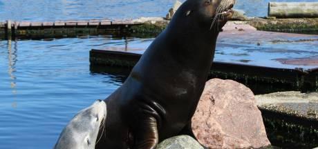 Zeeleeuw Finley galmt door Harderwijk, volgens hemzelf met een goede reden