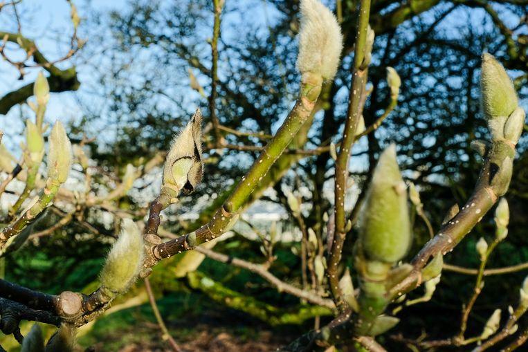 Knoppen van Magnolia staan klaar om open te breken.