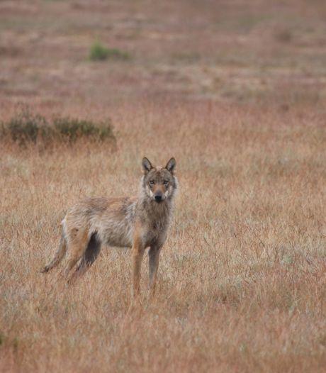 Is de wolf uitgezet in Nederland? Duizenden euro's beloning voor 'wie het kan bewijzen'