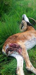 Een van de moeflons die de afgelopen dagen volgens De Hoge Veluwe is gedood door een wolf.