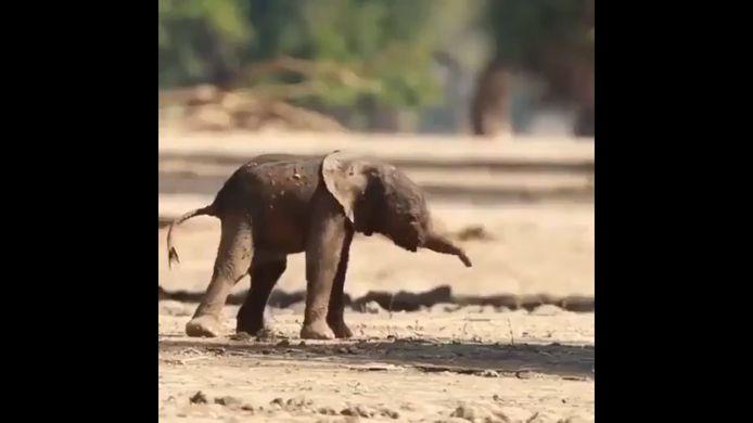 Un tout jeune éléphanteau réalise ses premiers pas.