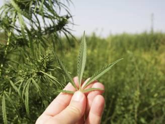 Extract uit cannabis remt groei van agressieve kankers