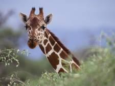 Un girafon promis à l'euthanasie au zoo de Copenhague