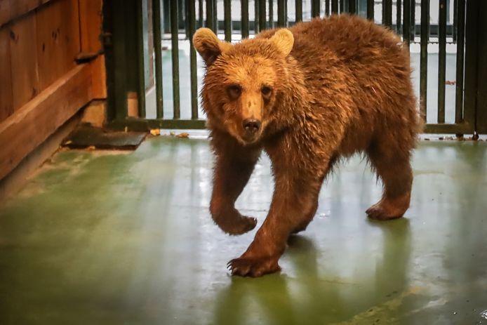 Russische beer   In het natuurhulpcentrum van Oudsbergen