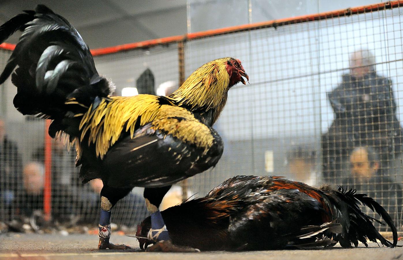 Pas als één van de dieren sterft of afdruipt, is de wedstrijd over