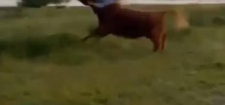 Woede om weghalen runderen nadat vrouw op hoorns wordt genomen: 'Waarom moeten dieren de dupe worden?'