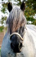Belgisch trekpaard Jim