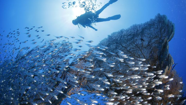 De verschraling van de biodiversiteit in de tropen zal het sterkst zijn. Zo dreigen koraalriffen er te verdwijnen. Beeld anp