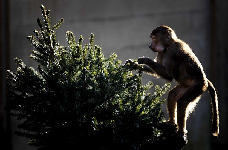 Bavianen in Dierenpark Amersfoort spelen met kerstbomen die door bezoekers zijn gebracht. Beeld ANP
