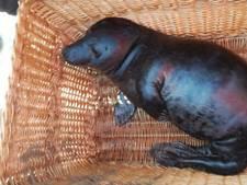 Zeldzame zwarte zeehond aangespoeld in Zeeland