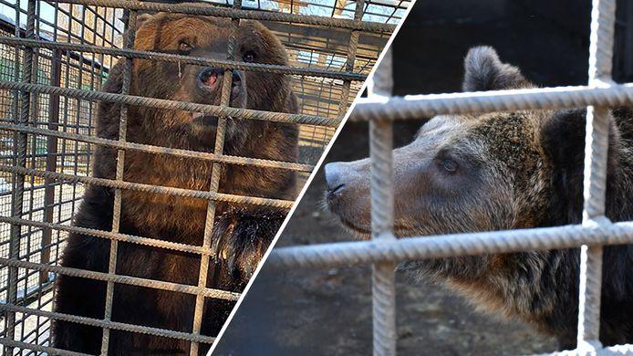 De verwaarloosde Oekraïense beren op beeld van Bears in Mind, rechts Ljalja.
