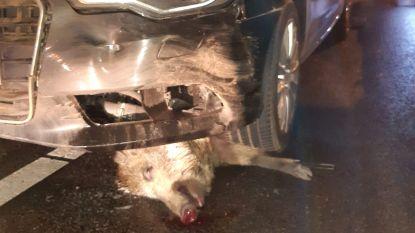 """Bestuurder rijdt in één klap 19 everzwijnen dood in Heusden-Zolder: """"Had ik een kleine wagen gehad, dan had ik het waarschijnlijk niet kunnen navertellen"""""""