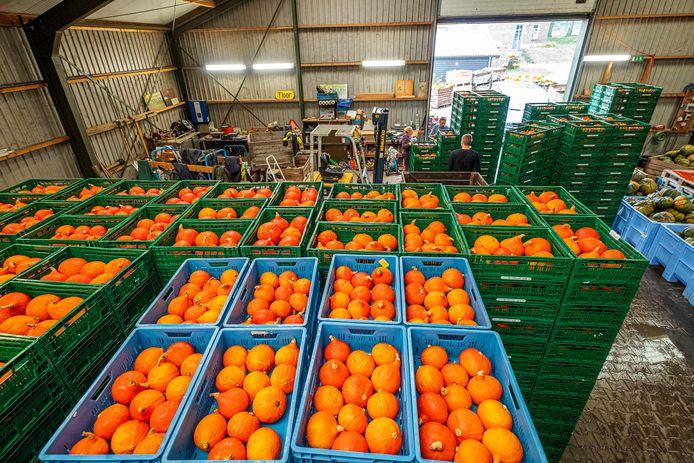 In de loods van Groentenhof Poelen in Groesbeek liggen duizenden gewassen Hokaido-pompoenen te wachten op transport.