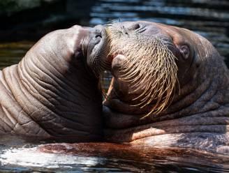 Brussel verbiedt als eerste gewest in Europa het houden van zeeroofdieren en walvisachtigen