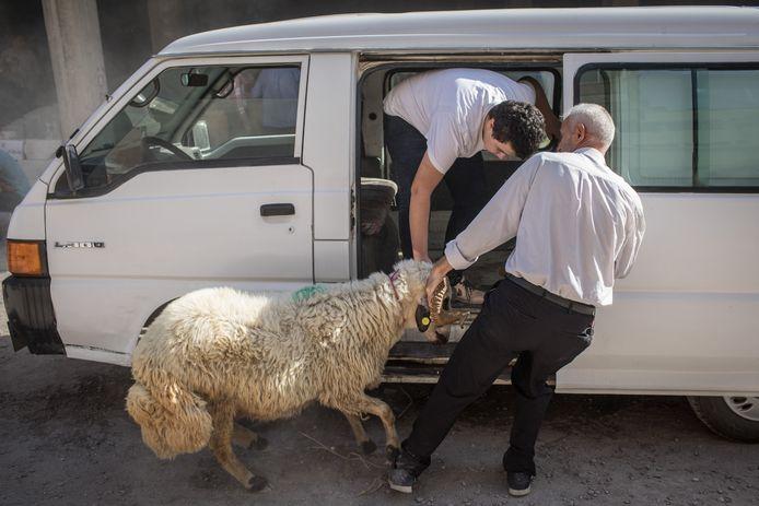 Dit schaap kreeg door welk lot haar te wachten stond en strubbelde flink tegen in Gaziantep, Turkije.