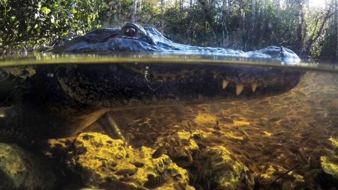 Alligator valt bejaarde man aan die met fiets in het water belandt in Florida