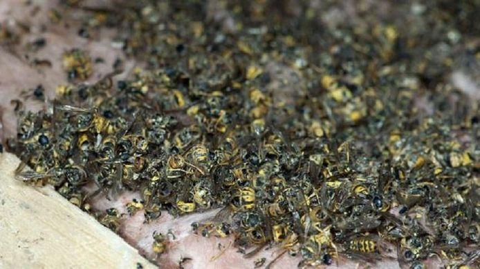 Onder het nest lagen honderden dode wespen.