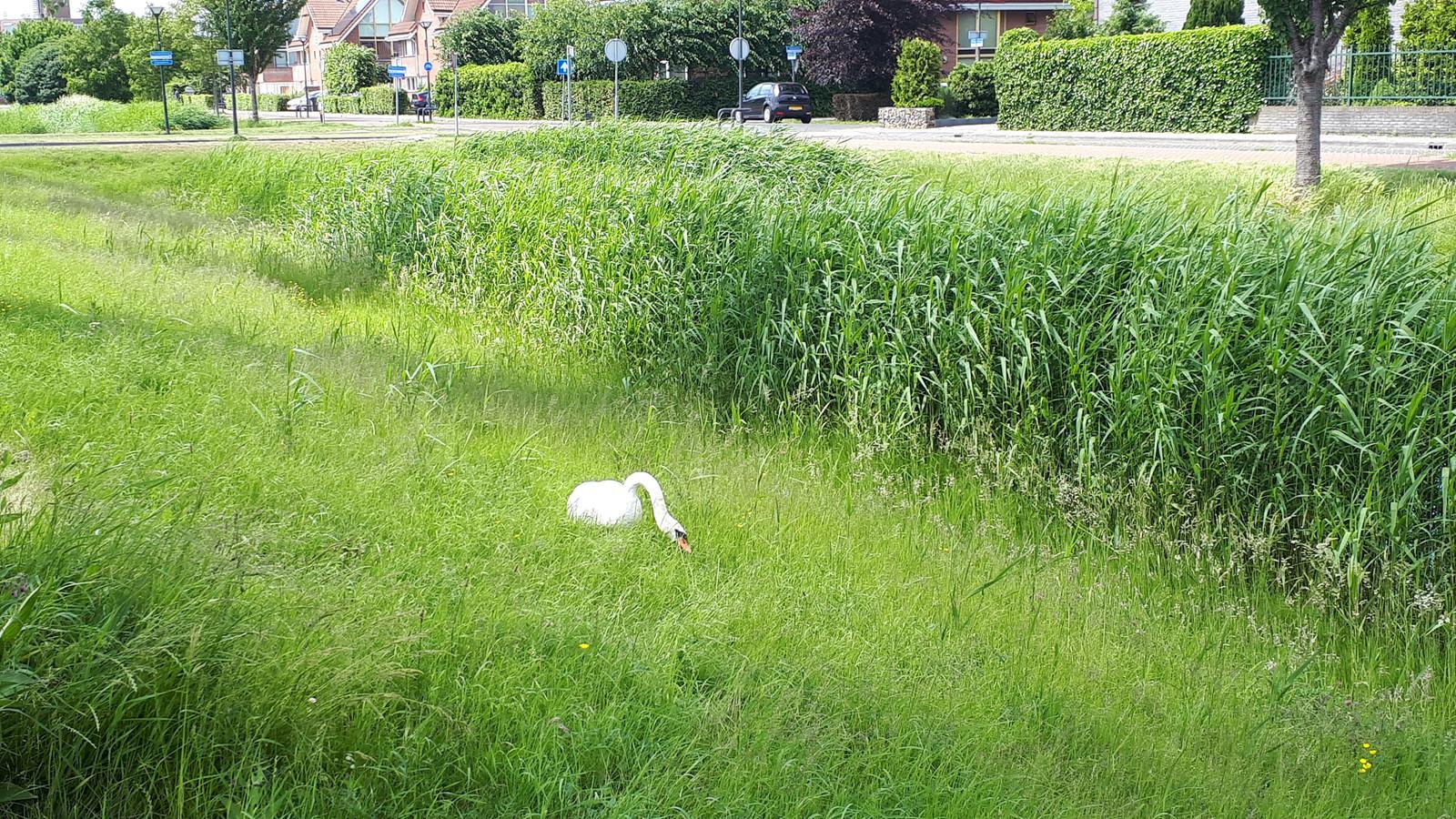 Een eenzame zwaan aan de Pauwenburg in Lelystad