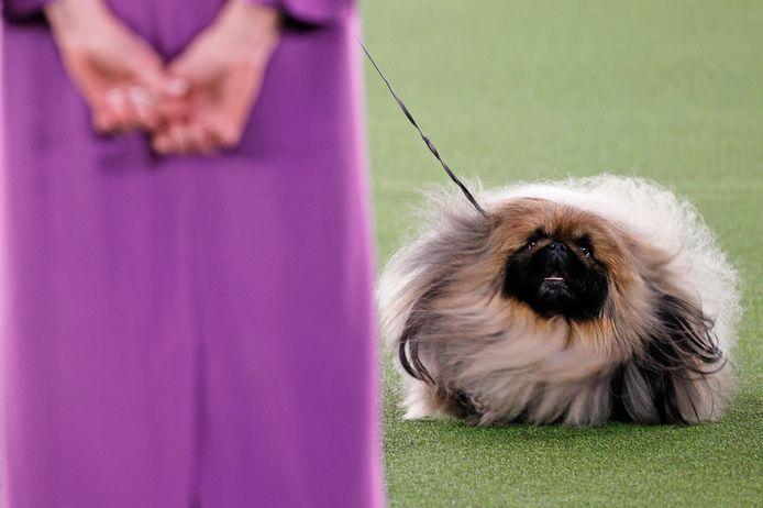 De pekinees Wasabi stal de show in de befaamde hondenwedstrijd.