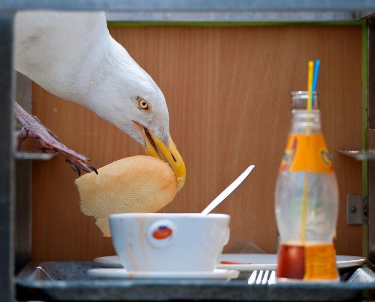 Een zilvermeeuw pakt een stuk brood uit een cateringkar.