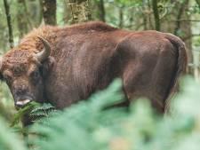Raad Uden: 'Voor de zomer maatregelen rond grote grazers, liefst met natuurlijk hekwerk'