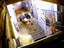 Animal Rights: Vlees uit Duits 'horror-slachthuis' mogelijk ook in Nederland