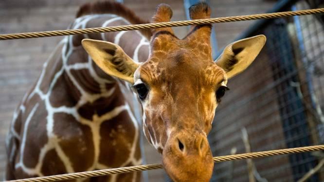 Slachting dreigt voor tweede giraf in Denemarken