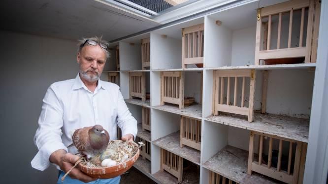 Conflict tussen duivenhouder Hendrie en Almelo loopt hoog op: 'Zo vermoord je alle jonge vogels'
