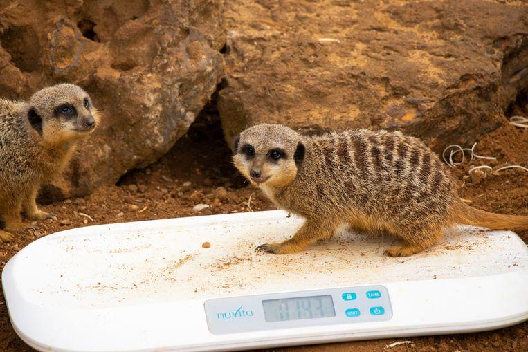 Een meerkat. Beeld Photo News