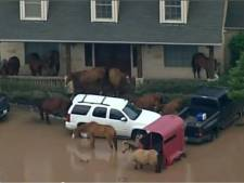 Paarden zoeken toevlucht op veranda wegens overstromingen