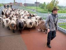 115 blatende schapen huppelen door Harderwijkse woonwijk