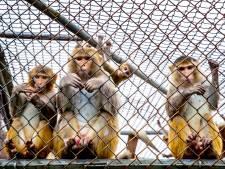 Meer experimenten met apen: vorig jaar 137 dode dieren