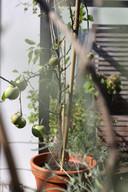 Een appelboompje kun je best in een pot op het balkon houden, die is winterhard