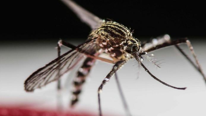 Mensen kunnen besmet raken door een steek van een tijgermug, maar in enkele gevallen is het virus ook overgebracht via seksueel contact.