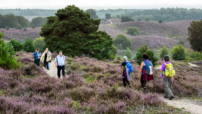 Heide op Posbank weer in bloei, drukte op komst: 'Kom doordeweeks of ga naar een ander gebied'