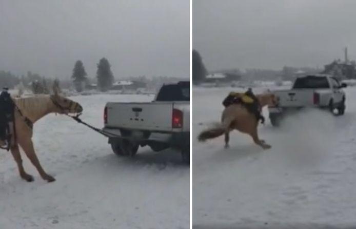 Het paard hangt vast aan de truck en wordt meegesleurd over een besneeuwde weg in Colorado.