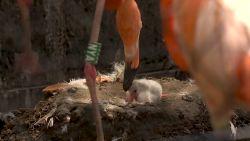 Antwerpse Zoo verwelkomt kleine flamingo Umi