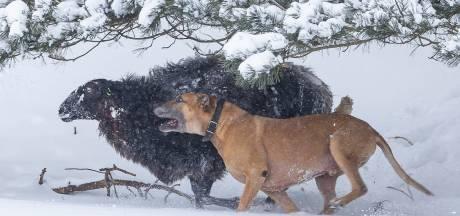 Schapen gewond door agressieve hond in natuurgebied Drenthe
