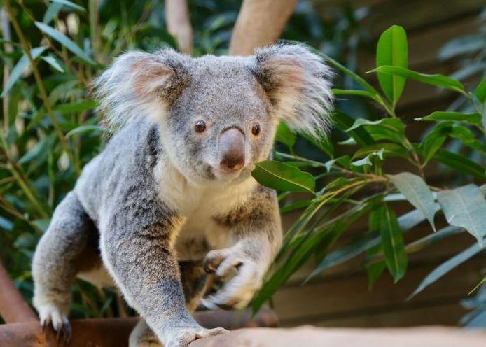 Coco was afkomstig uit het Lone Pine Koala Sanctuary in Brisbane.