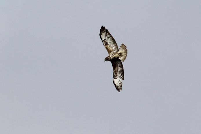 Een buizerd (niet zijnde de buurtbuizerd) in volle vlucht. Foto ter illustratie.