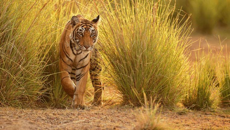 Poseren naast een koning van de jungle maakt je er zelf geen tinder wil af van selfies met - Foto wc opgeschort ...