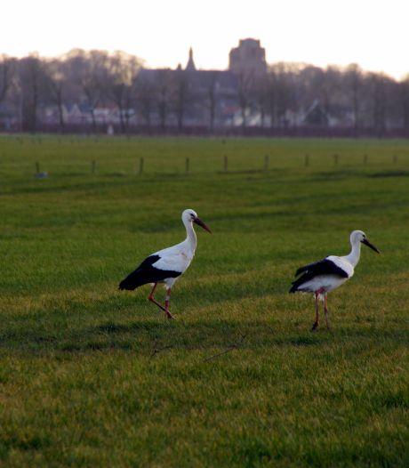 Ooievaars kunnen veilig nestelen in Wijk bij Duurstede: hun nest staat weer stevig