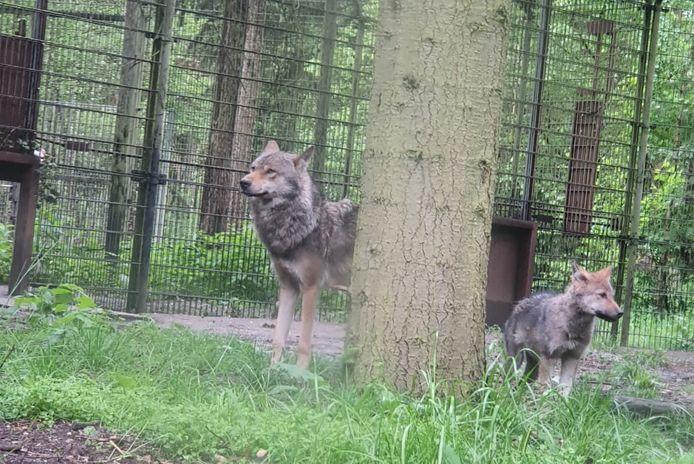 Een deel van de wolvenroedel in Dierenpark Amersfoort.