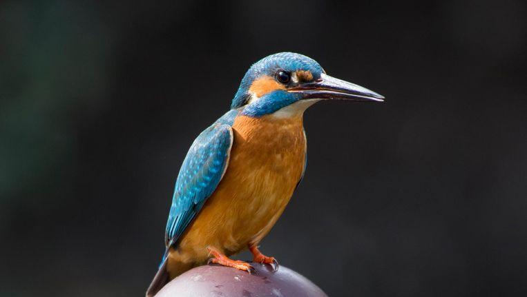 Mannetjesijsvogel. Latijnse naam: Alcedo atthis. Beeld Jeroen Stel