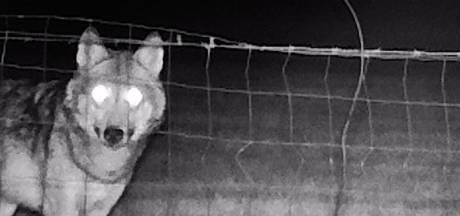 De wolf slaat weer toe in Brabant: 'Waarom zou hij een ree zoeken als hij ook tien schapen kan vangen?'