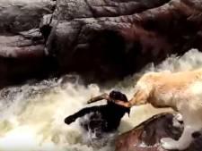 Le moment exceptionnel où un labrador sauve un chien emporté par une rivière