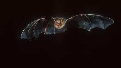 Bijna 40 procent meer vleermuizen in Keerbergen geteld