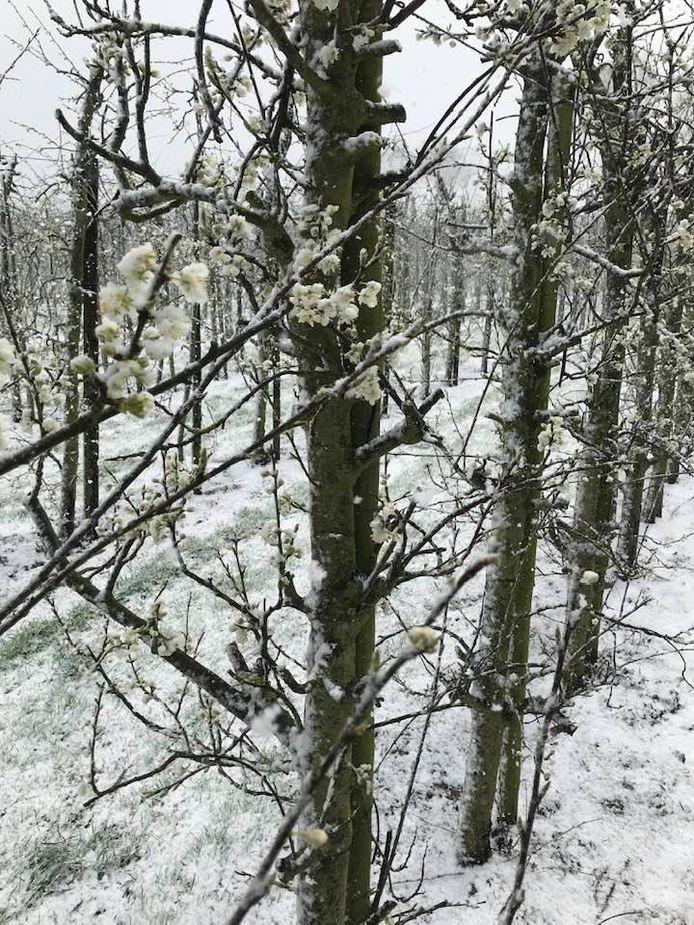 De pruimenbomen van Cees de Ruiter staan in bloei onder extreme weersomstandigheden.